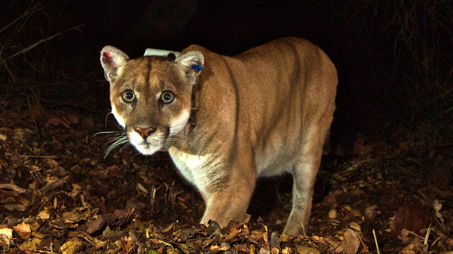 Wild animals need to roam, but our freeways are in the way. Now a proposed bridge over the 101 would allow mountain lions and other wildlife to cross safely over the freeway and improve their access to food and mates.