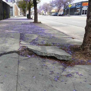 LA removes street trees to repair sidewalks