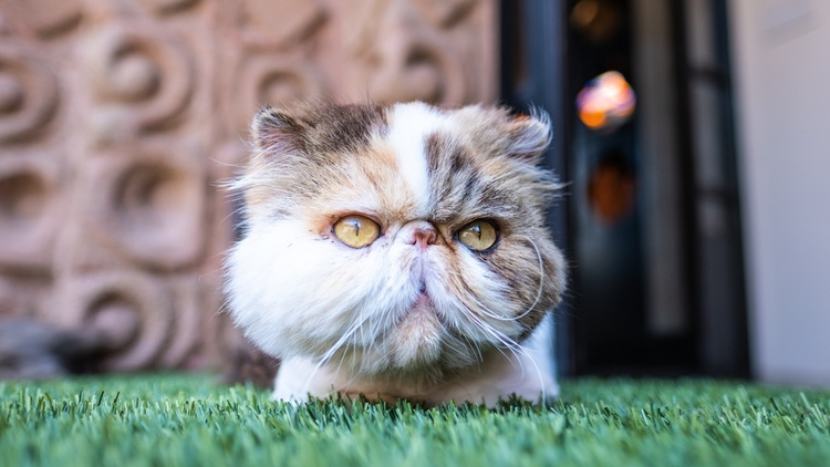 One of the stranger attractions at the Sowden House are the seven Persian cats, flat-faced and shorn of fur except for fluffy heads and paws. They are meant to look like little lions.