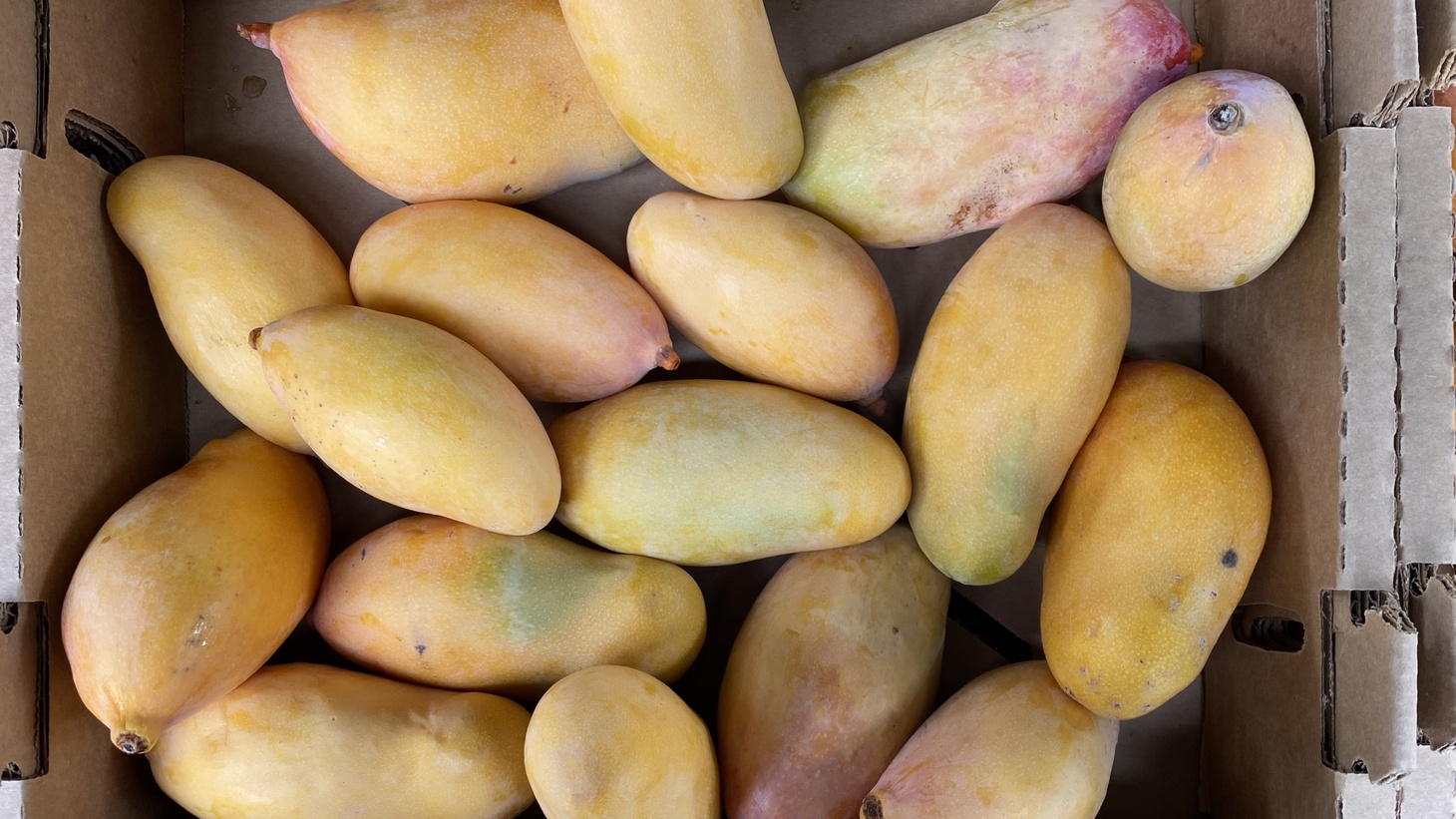 Mangoes from Wong Farms are grown in the desert, where they thrive in dry heat and sun.