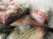 Nobi Fish on Ice.jpg