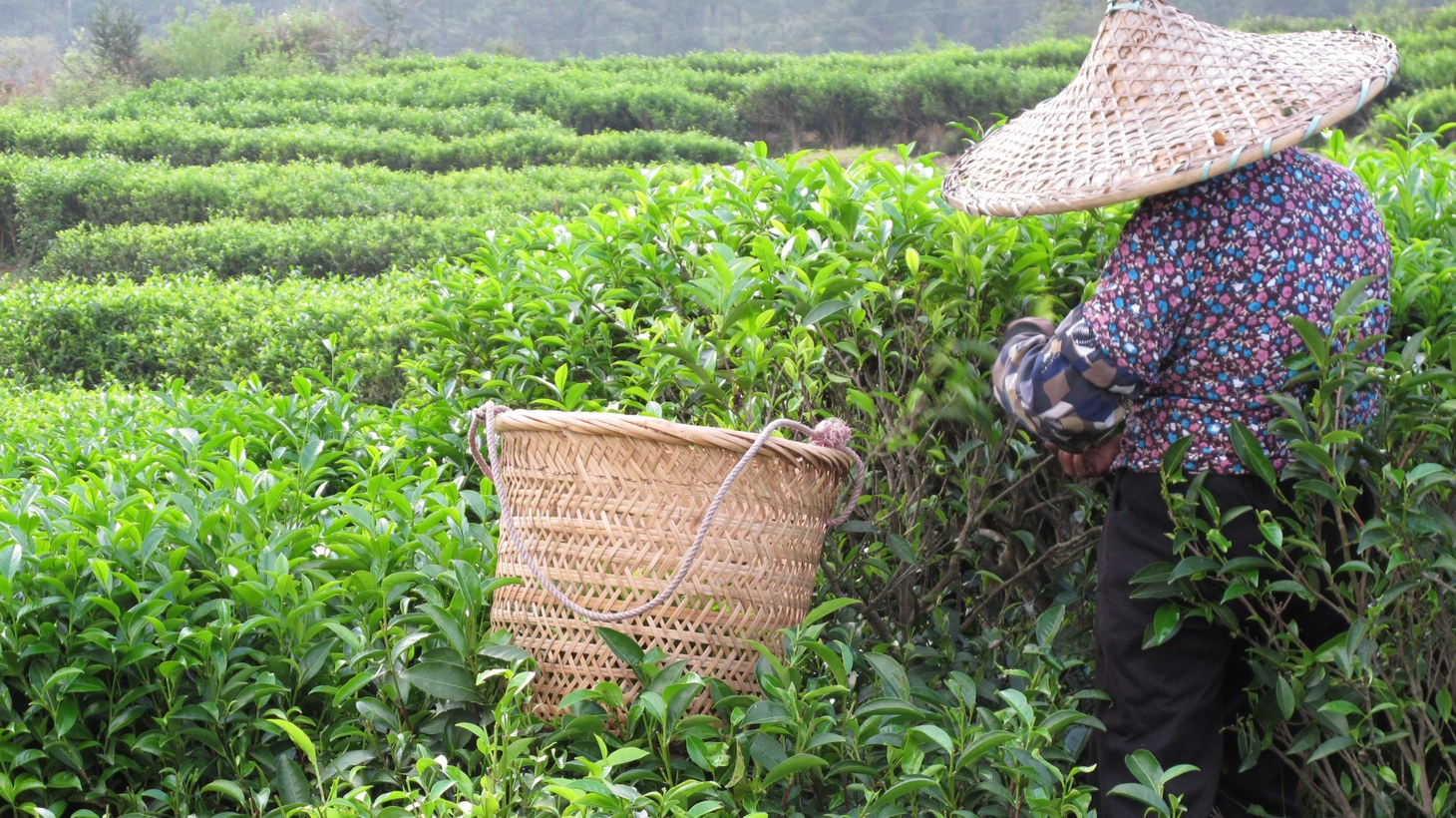 """""""Picking tea is literal hands-on labor,"""" says Charlene Wang, as she explains how colonialism still affects the market for it."""