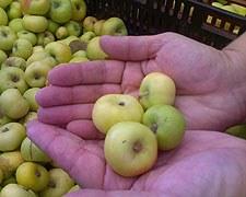 lady_xmas_apples.jpg
