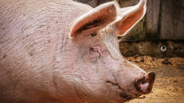 The FDA has approved its first genetically modified pigs for human consumption, which were first developed as biotechnology in human transplants.