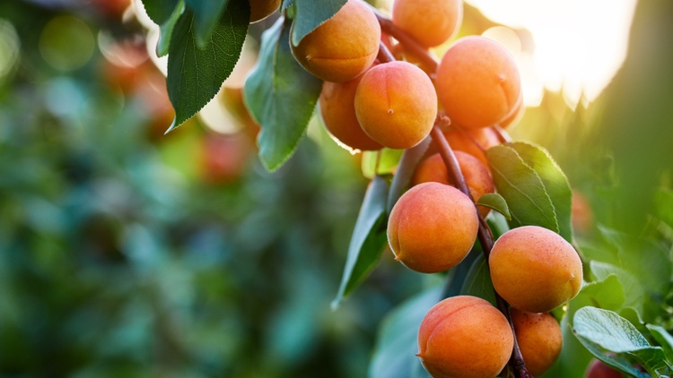 Ideal fruit is seen as smooth-skinned and bright-hued, a symbol of goodness, kindness, and the virtues of civilization. But not all fruit is easy.
