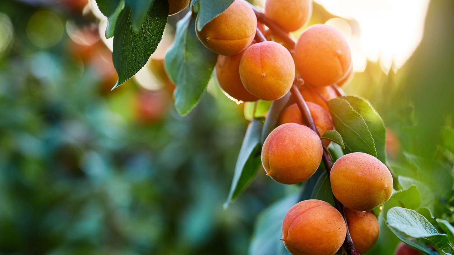 Apricot kernels can be toxic for a small child, but can also be used as medicine for a sick adult, and a secret source of flavor for a cook.