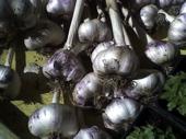 Garlic Bulbs.jpg