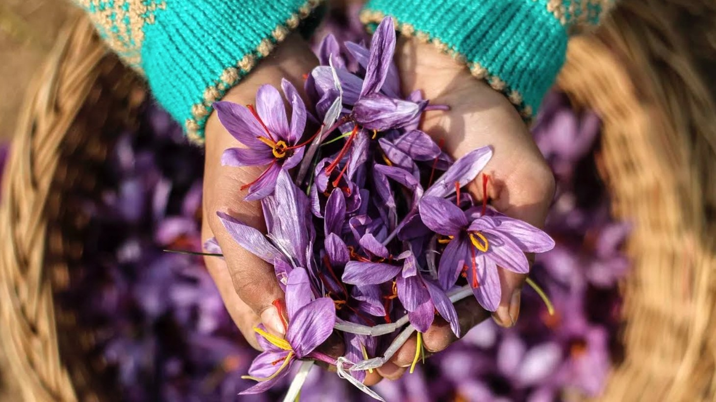Kashmiri saffron is the most precious spice in the world, and it's on the verge of extinction.