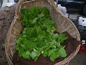 baby_lettuce.jpg