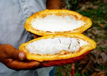 Fermented Cacao