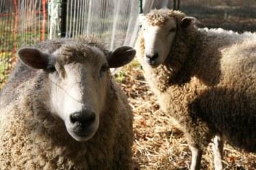 Jenna Sheep