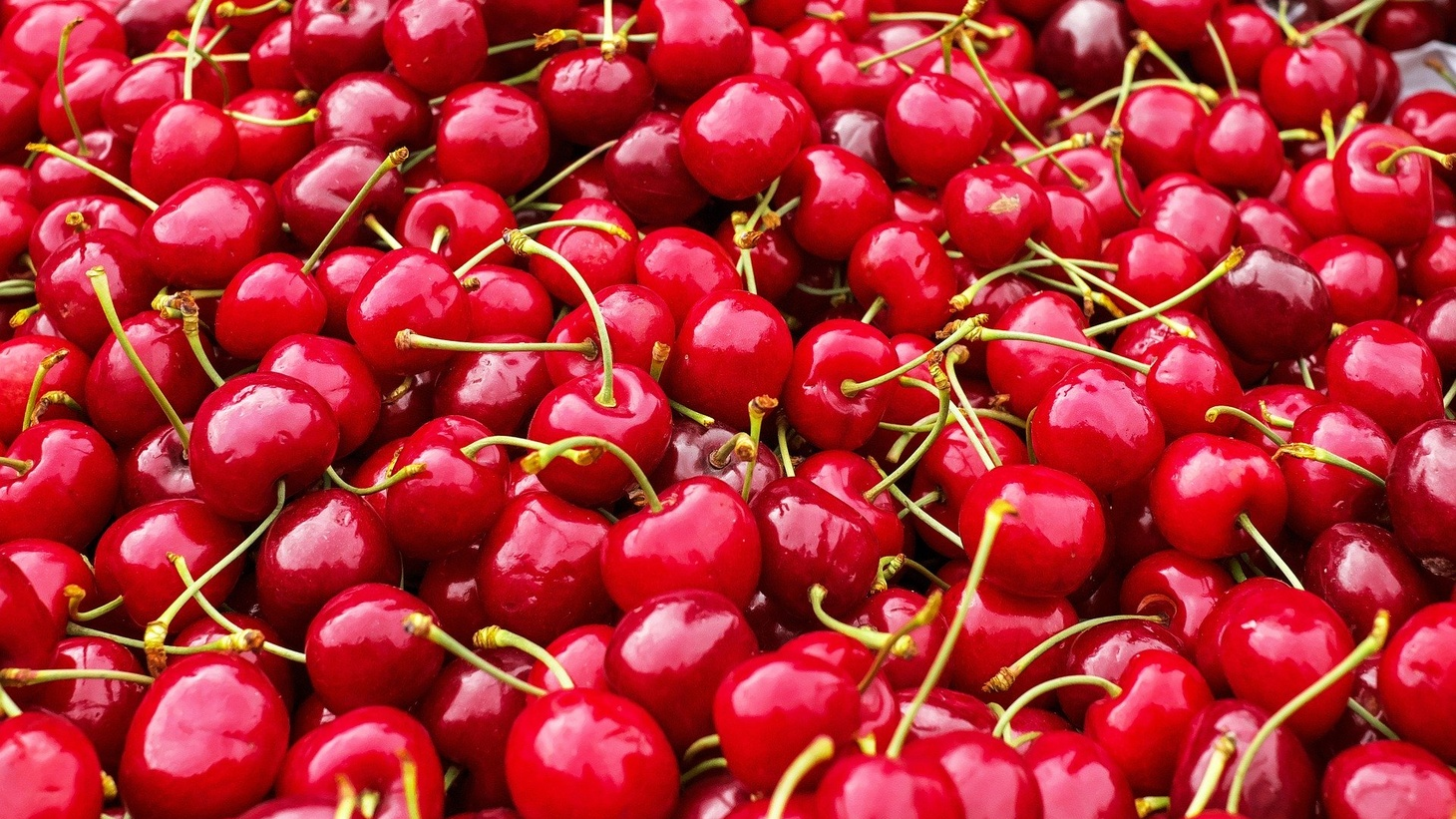 Eighty-five percent of income for Murray Family Farms occurs each season with 500 people hand-picking cherries.