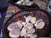 oyster_mushrooms.jpg