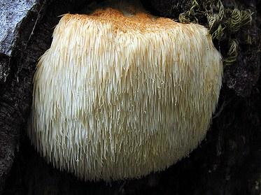 Bears_Head_mushroom.jpg