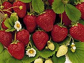 seascape_strawberries.jpg
