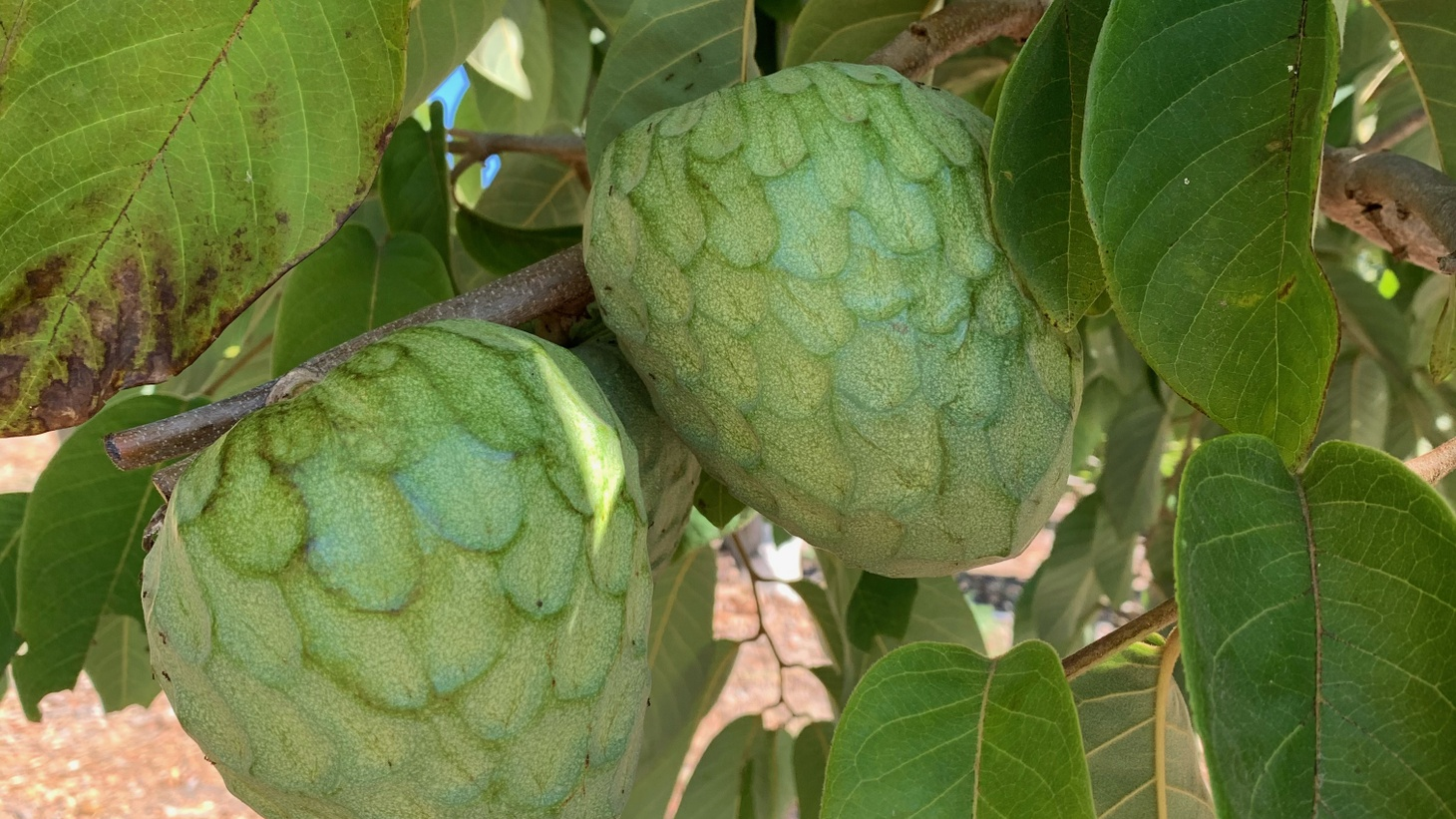 Native to South America but grown all over the world, Nick Brown of Rincon del Mar Ranch grows six varieties of cherimoya, including a patented variety named after the ranch.