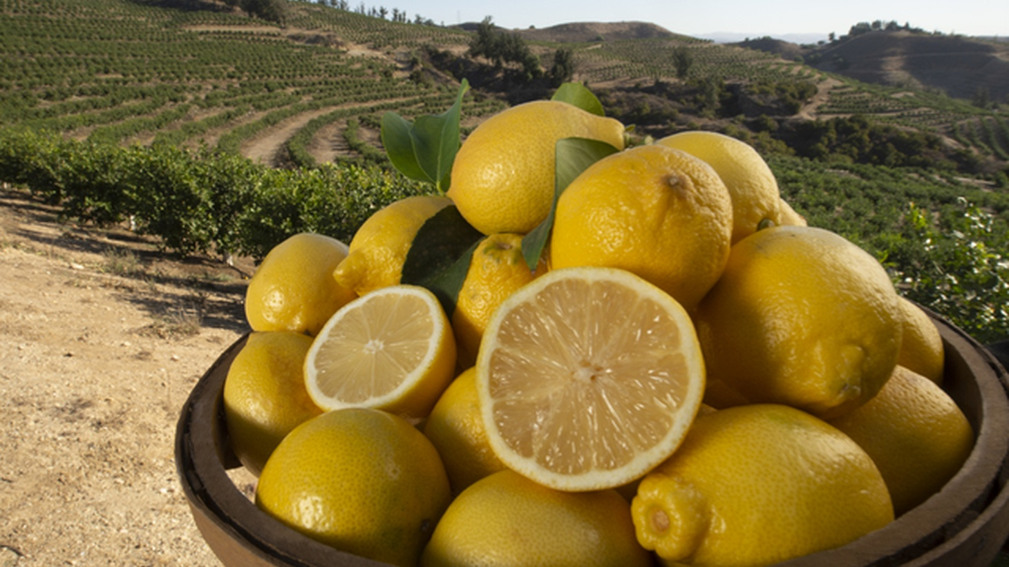 A Wonderful seedless lemon at Lemon Hill in Somis, CA.