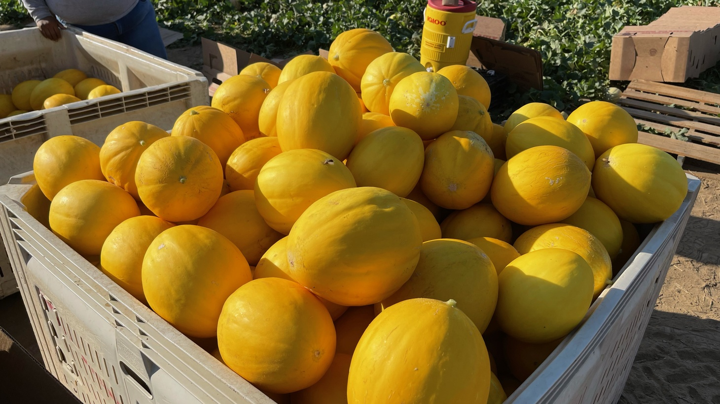 With 10 varieties of melons, Alex Weiser's Brilliant melon is nothing short of its name.
