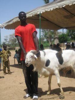 Goat in Senegal
