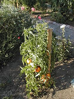 tomato_plant.jpg