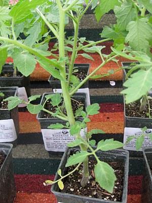 organic_tomato.jpg