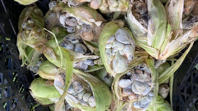 Huitlacoche has long been considered a delicacy in Mexico, but in the U.S., it goes by the unfortunate name of corn smut, or corn fungus.