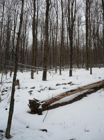 Maple Syrup Trees