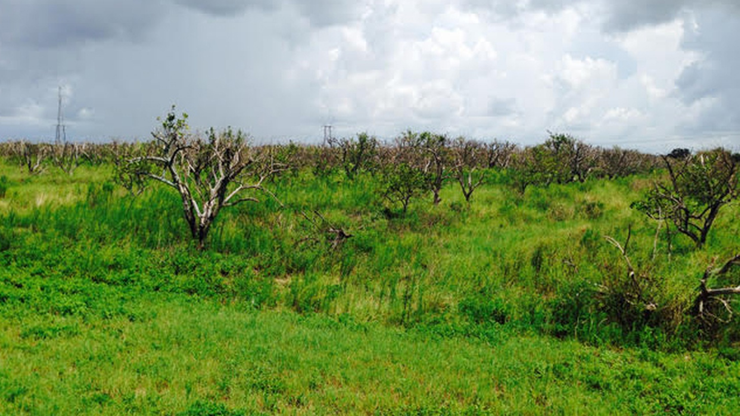 HLB-infected citrus grove in Florida, abandoned and dying.