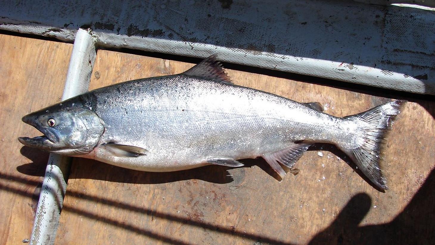 California King Salmon.