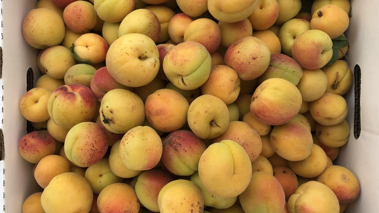 Blenheim apricots are a beloved Californian fruit, though  orchards have been in decline for years   .