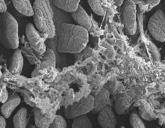 microflora.jpg