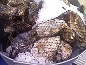 carlsbad_aquafarm_oysters.jpg