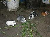 guinea_pigs.jpg