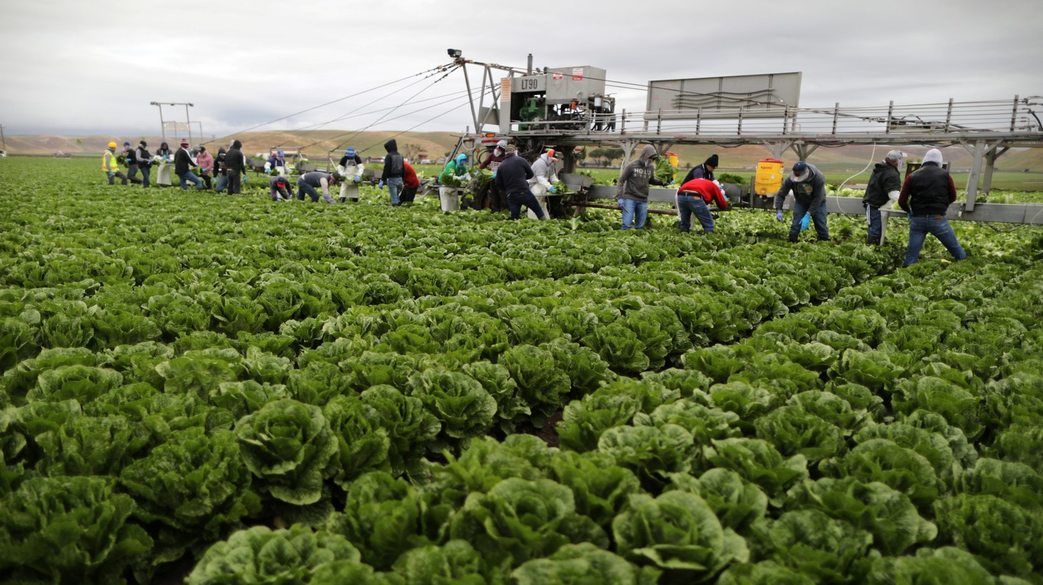 Migrant farmworkers with H2A visas harvest romaine lettuce in King City, California. Ninety-three percent of California's agricultural laborers are Latino, and coronavirus cases are mounting within the community.