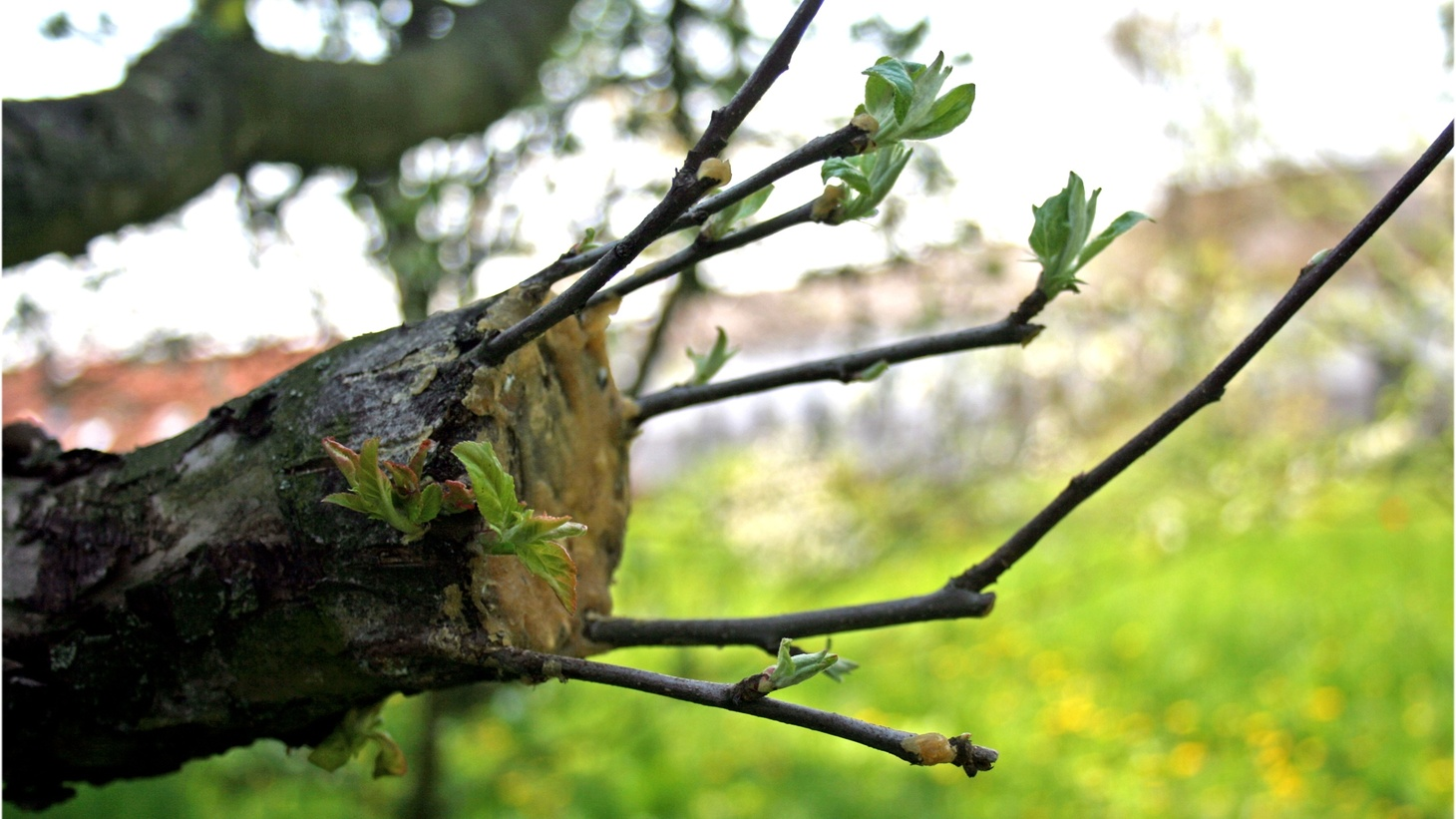 Grafting of an apple tree.