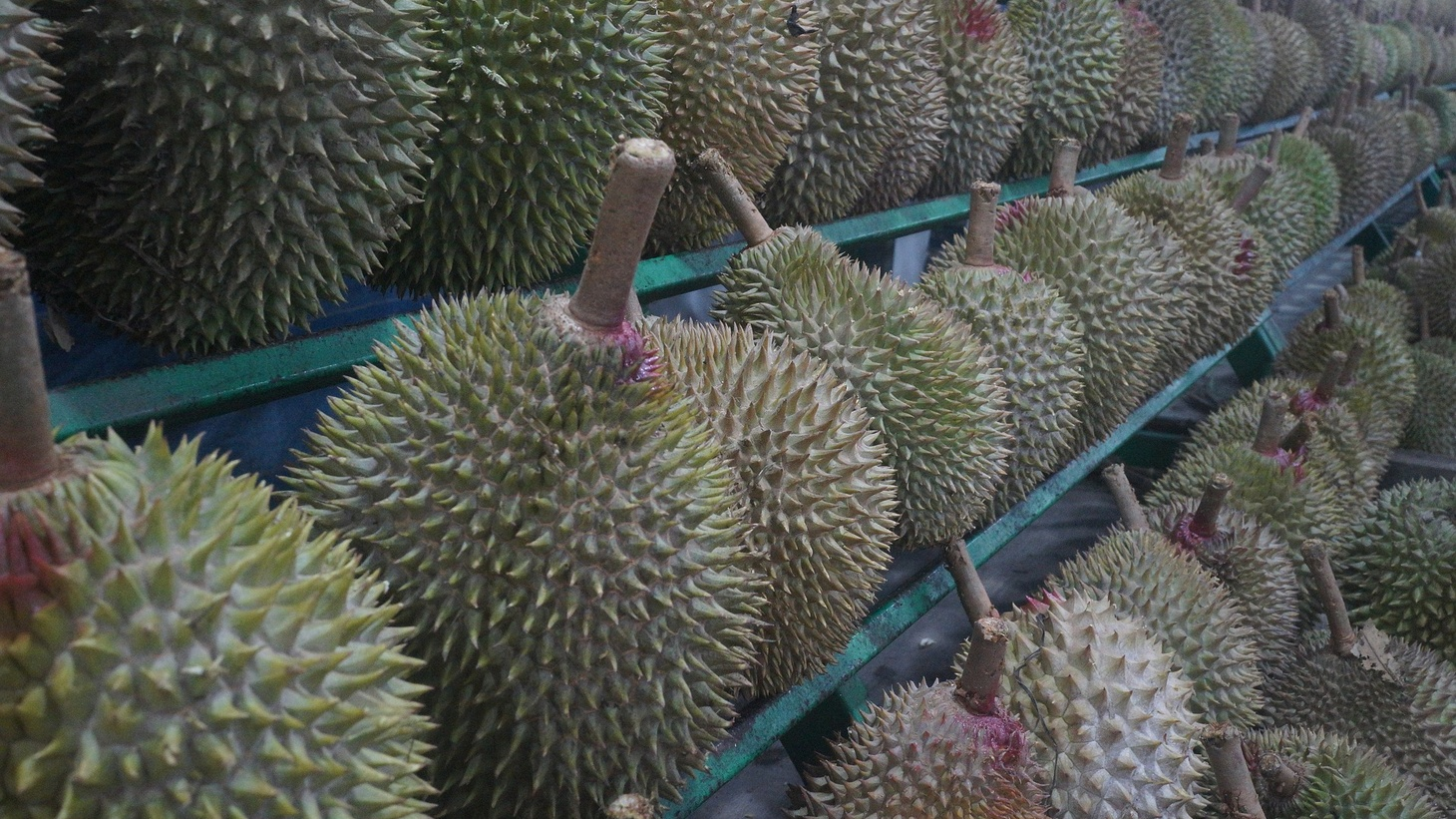 Simultaneously attractive and repellent, durian is eaten by large animals like elephants and orangutans but is a polarizing fruit among humans.
