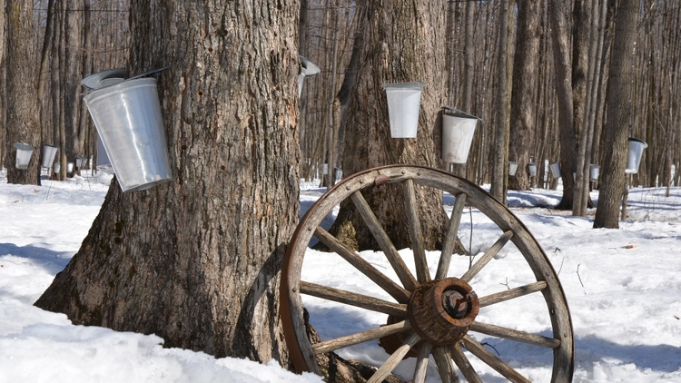Long before European settlers came to the Americas, Native Americans had been scoring trees and collecting sap in hollow logs with hot rocks to boil it down into syrup.