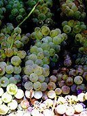 chasselas_dore_grapes.jpg