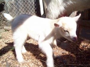 Novella's Goat
