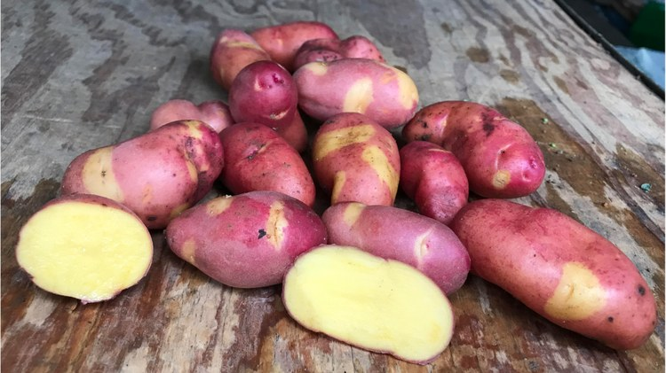 Magic myrna potatoes are a fingerling potato from Alaska with a creamy, buttery texture.