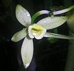 vanilla_flower.jpg