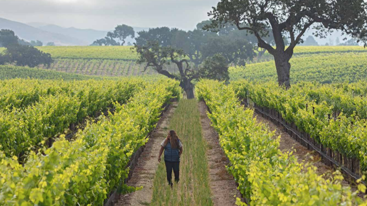 Santa Barbara wineries tend to be small compared to others in California, says wine writer Matt Kettmann.