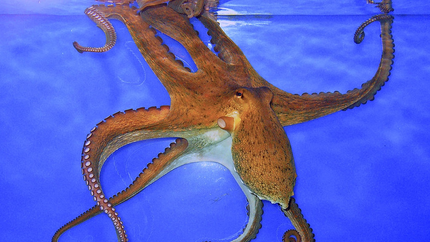 Octopus vulgaris at the State Museum for Natural History, Karlsruhe, Germany.