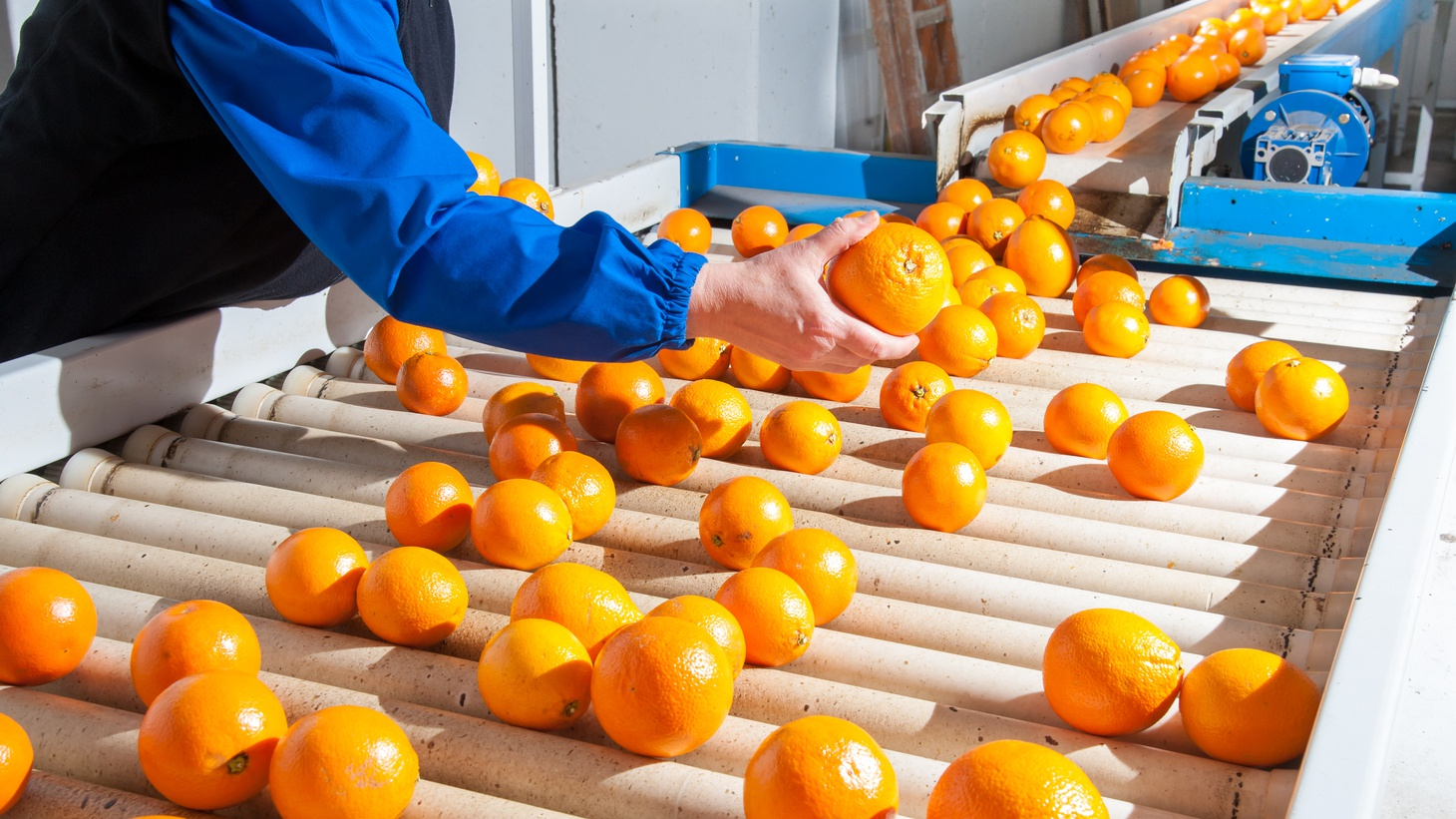 Manual checking of tarocco oranges in the carriage of a modern production line.