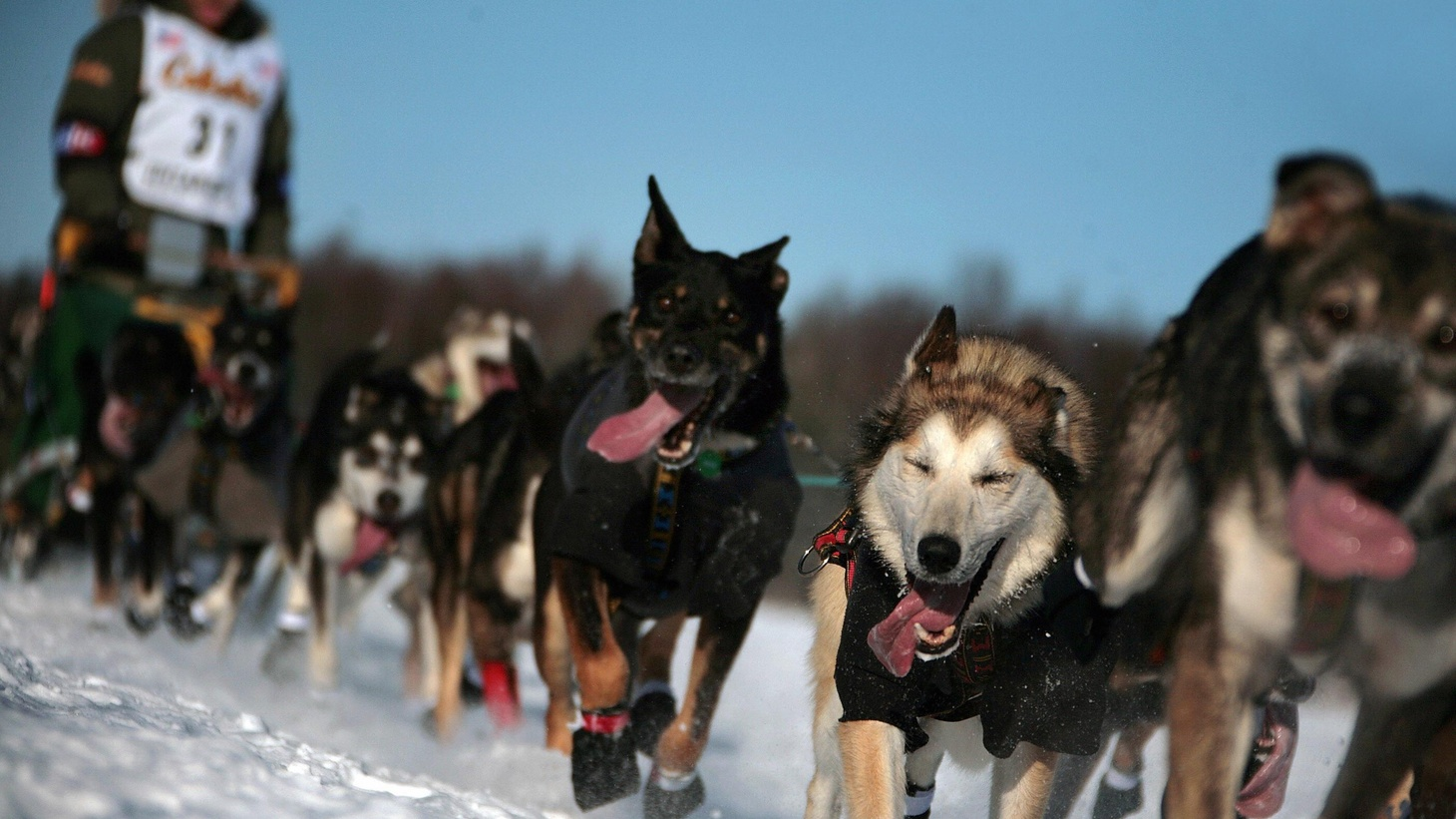 This year's Iditarod dog sled race in Alaska is over now and a record six dogs died this time out. Three dogs are lost to hypothermia or heart failure or what they dubiously call unknown causes on the Iditarod trail most years but this year it was six. Six innocent animals who want to please their masters so desperately that they will literally run to death for them...