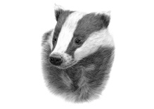 Becoming a badger