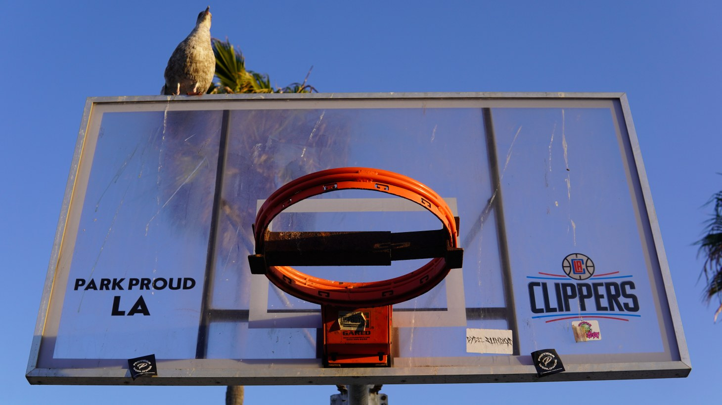 A bird sits upon a locked basketball hoop in Venice Beach.