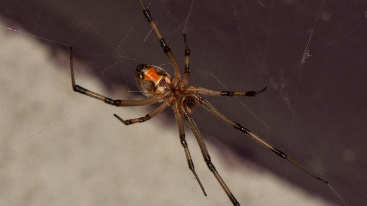 """""""These brown widows showed up [in Southern California] in 2003. And they are all over the place now,"""" says Lila Higgins of LA's Natural History Museum."""