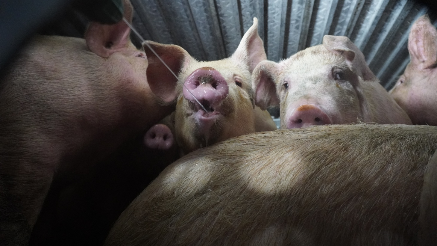 Pigs arrive at the Farmer John slaughterhouse in a truck, closely stacked together. Activists give them comfort of any kind before their death.