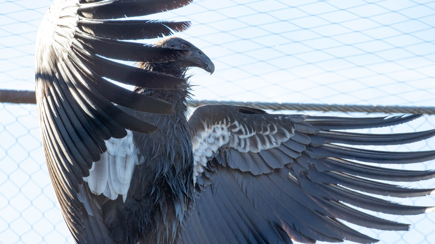 The adult California condor is uniform black — with the exception, especially in the male, of large triangular patches or bands of white on the underside of the wings.